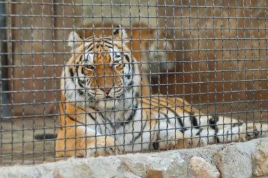 New York: tigre positiva al Coronavirus